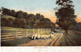 top007429 - Sheep Post Card