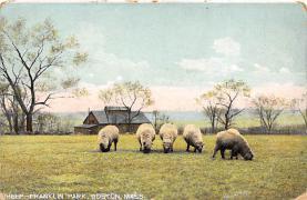 top007431 - Sheep Post Card
