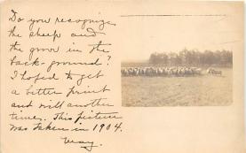 top007435 - Sheep Post Card