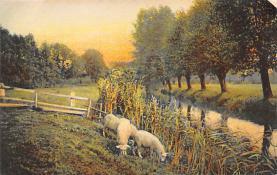 top007439 - Sheep Post Card