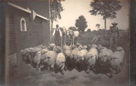 top007441 - Sheep Post Card