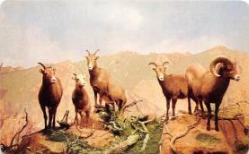 top007449 - Sheep Post Card