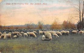 top007455 - Sheep Post Card