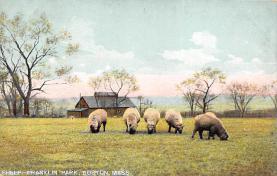 top007459 - Sheep Post Card
