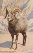 top007461 - Sheep Post Card