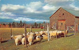 top007471 - Sheep Post Card