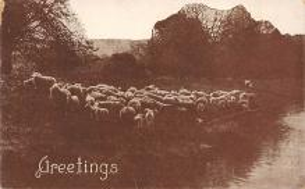 top007473 - Sheep Post Card