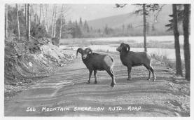 top007493 - Sheep Post Card