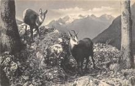top007495 - Sheep Post Card