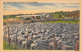 top007497 - Sheep Post Card