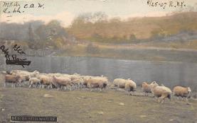 top007505 - Sheep Post Card