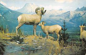 top007513 - Sheep Post Card