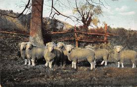 top007515 - Sheep Post Card