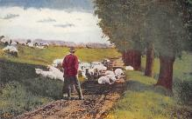 top007517 - Sheep Post Card