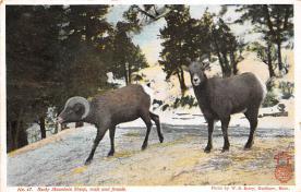 top007523 - Sheep Post Card
