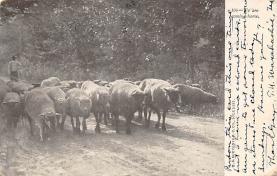 top007541 - Sheep Post Card