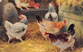 top007657 - Chicken Post Card