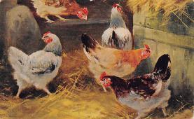 top007661 - Chicken Post Card