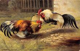 top007709 - Chicken Post Card