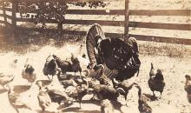 top007759 - Chicken Post Card