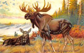 top008403 - Moose / Elk Post Card