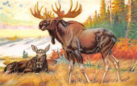 top008405 - Moose / Elk Post Card