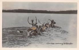top008407 - Moose / Elk Post Card