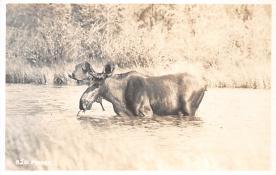 top008409 - Moose / Elk Post Card