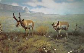 top008413 - Moose / Elk Post Card