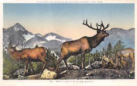 top008415 - Moose / Elk Post Card