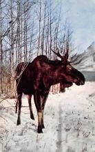 top008419 - Moose / Elk Post Card