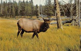 top008423 - Moose / Elk Post Card