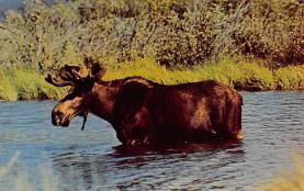 top008427 - Moose / Elk Post Card