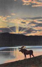 top008429 - Moose / Elk Post Card