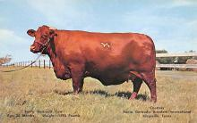 top008463 - Cow Post Card