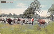 top008465 - Cow Post Card