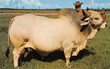 top008467 - Cow Post Card