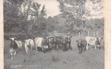 top008483 - Cow Post Card
