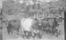 top008487 - Cow Post Card