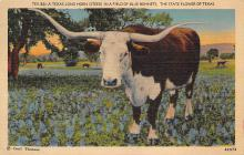 top008699 - Longhorn Steer Bull
