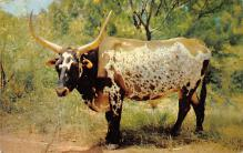 top008705 - Longhorn Steer Bull