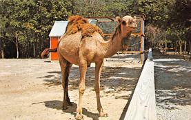 top008757 - Camel