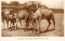 top008791 - Camel