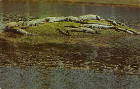 top008947 - Alligators