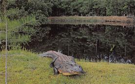 top008949 - Alligators