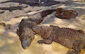 top008955 - Alligators