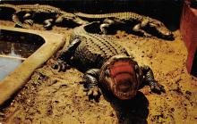 top008959 - Alligators
