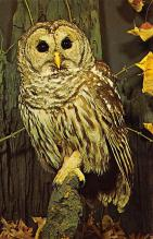 top009253 - Owl