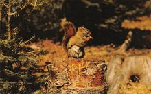 top009493 - Squirrel/Chipmunks/Woodchucks