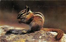 top009529 - Squirrel/Chipmunks/Woodchucks